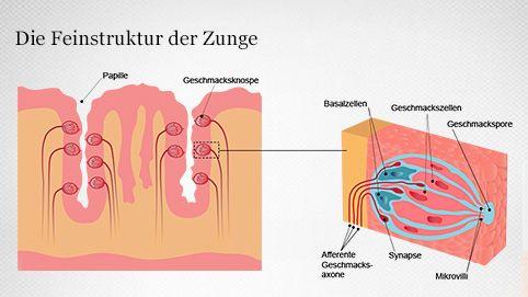 Geschmacksrezeptoren der Zunge
