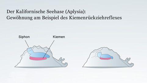 Gewöhnung am Beispiel des Kiemenrückziehreflexes