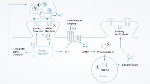 Mechanismus der Langzeitpotenzierung und Neuroplastizität