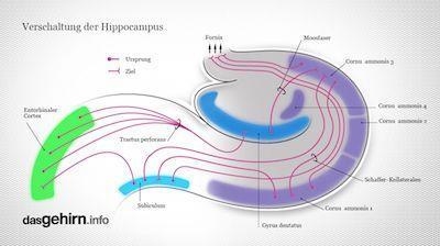 Vernetzung des Hippocampus