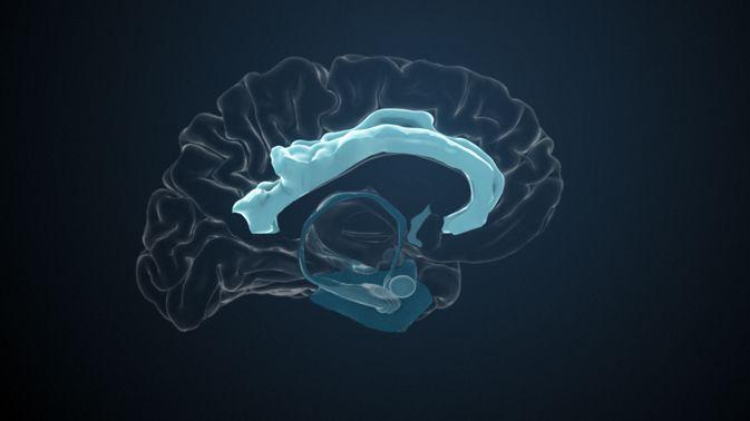 Der Gyrus cinguli