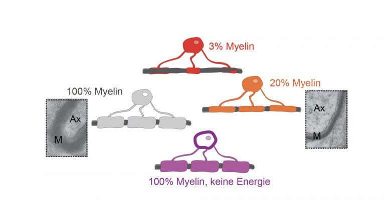 Oligodendrozyten umhüllen mit ihren Fortsätzen das Axon einer Nervenzelle. Sie bilden auf diese Weise eine elektrische Isolationsschicht um das Axon und erhöhen so die Leitungsgeschwindigkeit. Außerdem versorgen die Oligodendrozyten die Nervenzelle mit Energie.