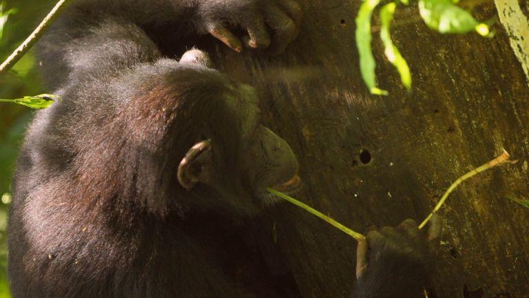 Schimpansen benutzen verschiedene Werkzeuge, scharfe Steinwerkzeuge gehören jedoch nicht dazu.