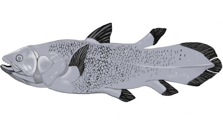 Latimeria chalumnae, eine Quastenflosser-Spezies. Grafik von Sabine Bijewitz/Leibniz-LSB@TUM, Vorlage: Eine Zeichnung des ehemaligen FishBase-Künstlers Robbie Cada.