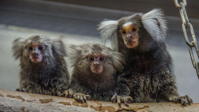 Weißbüschelaffen in der Tierhaltung am Deutschen Primatenzentrum