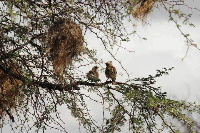 Ein Mahaliweber-Paar sitzt in einem Baum unter ihrem Nest. Das Männchen (rechts) trägt einen Mikrofonsender auf dem Rücken und einen Sender zum Messen der Gehirnaktivität auf dem Kopf. © Susanne Hoffmann